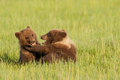Bear cubs playing two first year alaskan coastal brown in grassy meadow Stock Photography