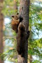 Bear cubs on tree a at summertime Royalty Free Stock Photo