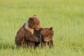 Bear cubs two first year alaskan coastal brown playing in grassy meadow Stock Image