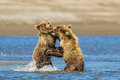 Bear cubs two young alaskan coastal brown aka grizzly bears play fighting in stream Stock Image