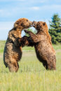 Bear fight two young immature alaskan coastal brown bears play fighting Stock Images