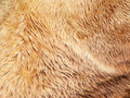 Bear fur texture Royalty Free Stock Photo