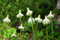 Bear grass flowers in waterton Stock Image