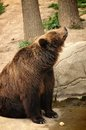 Bear mom watching her sons is in the zoo Royalty Free Stock Images
