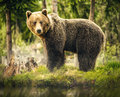 Bear in nature, wildlife, brown bear in forest, meeting with bear, big bear, animal in nature Royalty Free Stock Photo