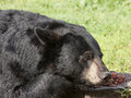 Bear resting with nose in food black taking as rest between bites of Royalty Free Stock Photos