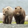 Medveď súrodenci