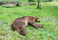 Bear sleeping on grass green Royalty Free Stock Photo