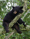 Bear sleeping in tree young taking a nap a cherry after eating Stock Photo