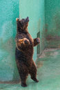 Bear standing while you scratch my back Stock Images