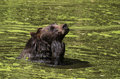 Bear swimming brown in the lake Royalty Free Stock Image