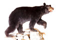 Bear taxidermy of a north american black Stock Photos