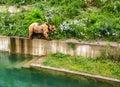A Bear is walking along edge of pool in Bern Bear Pit Barengraben in Bern Bear Park, Berne, Switzerland, Europe. Royalty Free Stock Photo