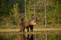 Bear walking along pond Royalty Free Stock Photo