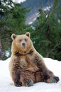 Bear in winter big forest Stock Photos