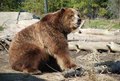 Bear in zoo Stock Images