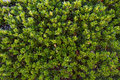 Bearberry plant and leaves with medicinal properties arctostaphylos uva ursi Stock Image