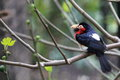 Bearded barbet the sitting on the branch Stock Photography