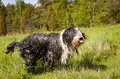 Bearded Collie Sticking Its Tounge Out Royalty Free Stock Photo