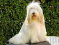 Bearded collie a young happy beautiful white fawn sitting beardie dogs were used for herding distinctive for their long straight Stock Images