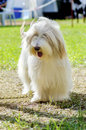 Bearded collie a young happy beautiful white fawn standing on the grass beardie dogs have a long coat and were used for herding Royalty Free Stock Photography