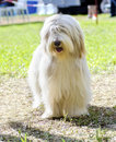 Bearded collie a young happy beautiful white fawn standing on the grass beardie dogs have a long coat and were used for herding Royalty Free Stock Photo