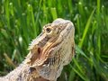 Bearded Dragon Stock Image