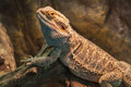 Bearded dragon (agama lizard) Royalty Free Stock Photo