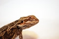 Bearded dragon looking at you a juvenile Stock Photo