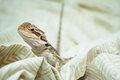 Bearded dragon looking at you a juvenile getting cozy up close Stock Image