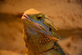 Bearded dragon pogona is a genus of reptiles containing eight species which are often known by the common name dragons the term Royalty Free Stock Photos