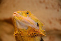Bearded dragon pogona is a genus of reptiles containing eight species which are often known by the common name dragons the term Stock Photo