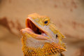 Bearded dragon pogona is a genus of reptiles containing eight species which are often known by the common name dragons the term Royalty Free Stock Image