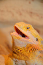 Bearded dragon pogona is a genus of reptiles containing eight species which are often known by the common name dragons the term Stock Photos