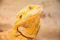 Bearded dragon pogona is a genus of reptiles containing eight species which are often known by the common name dragons the term Stock Photography