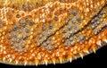 Bearded dragon pogona vitticeps skin detail of Stock Photography