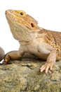 Bearded dragon on white background lizard isolated Royalty Free Stock Images