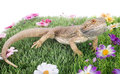 Bearded dragons in front of white background Royalty Free Stock Photos