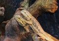 Bearded dragons nice pogona vitticeps Stock Photos