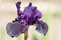 Bearded iris deep purple bud Royalty Free Stock Image