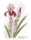 Bearded iris. Watercolor imitation. Stock Photo