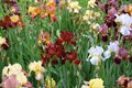 Bearded irises with variety of colorful flowers Royalty Free Stock Photo