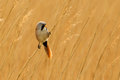 Bearded Reedling or Tit perched in reed bed Stock Photos