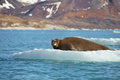 Bearded seal on fast ice Royalty Free Stock Photo