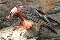 Bearded vulture Stock Photos