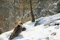 Bearded vulture the alpine bird of prey during winter Stock Photos