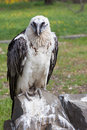 Bearded vulture bird gypaetus barbatus Stock Photo