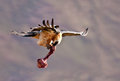 Bearded vulture flying away with a bone Stock Image