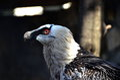 The bearded vulture Gypaetus barbatus Royalty Free Stock Photo