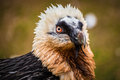 Bearded vulture portrait in zoo Royalty Free Stock Photo